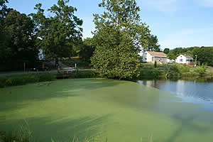pond scum algae