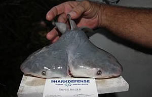 two headed bull shark deepwater horizon