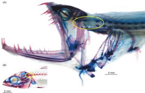 dragonfish head joint