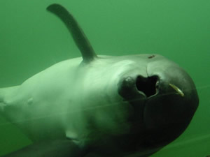harbor porpoise feeding