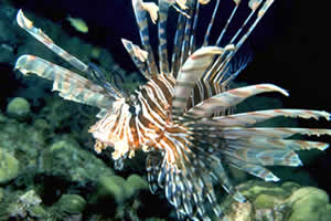 lionfish state record florida