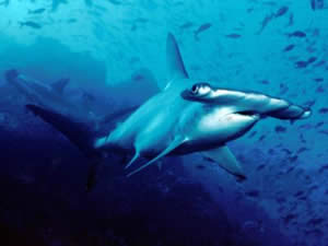 scalloped hammerhead carolina hammerhead